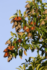 monarch-tree